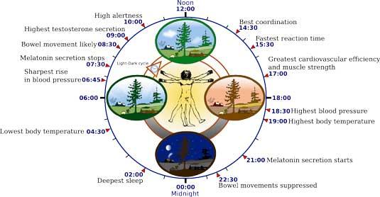 Sleep cycle diagram