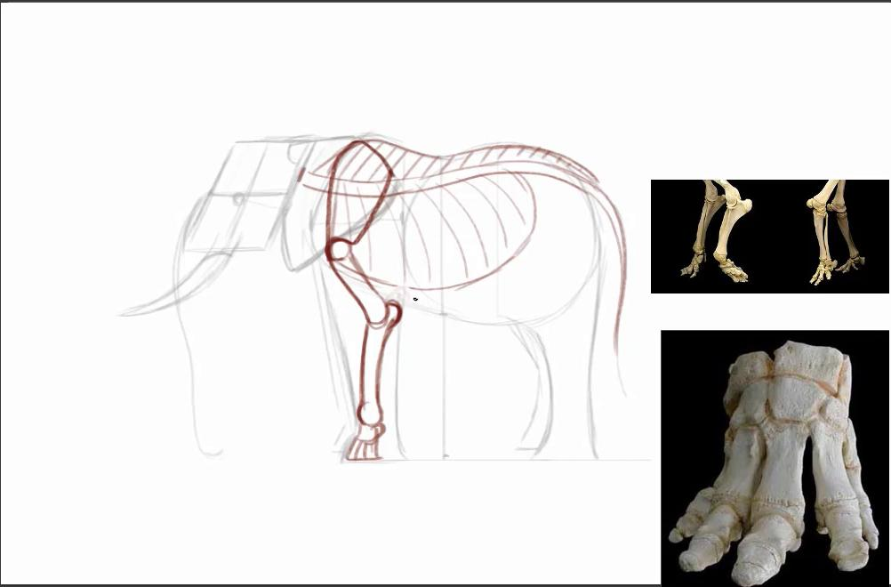 Sketch of elephant skeleton with reference images of legs and feet